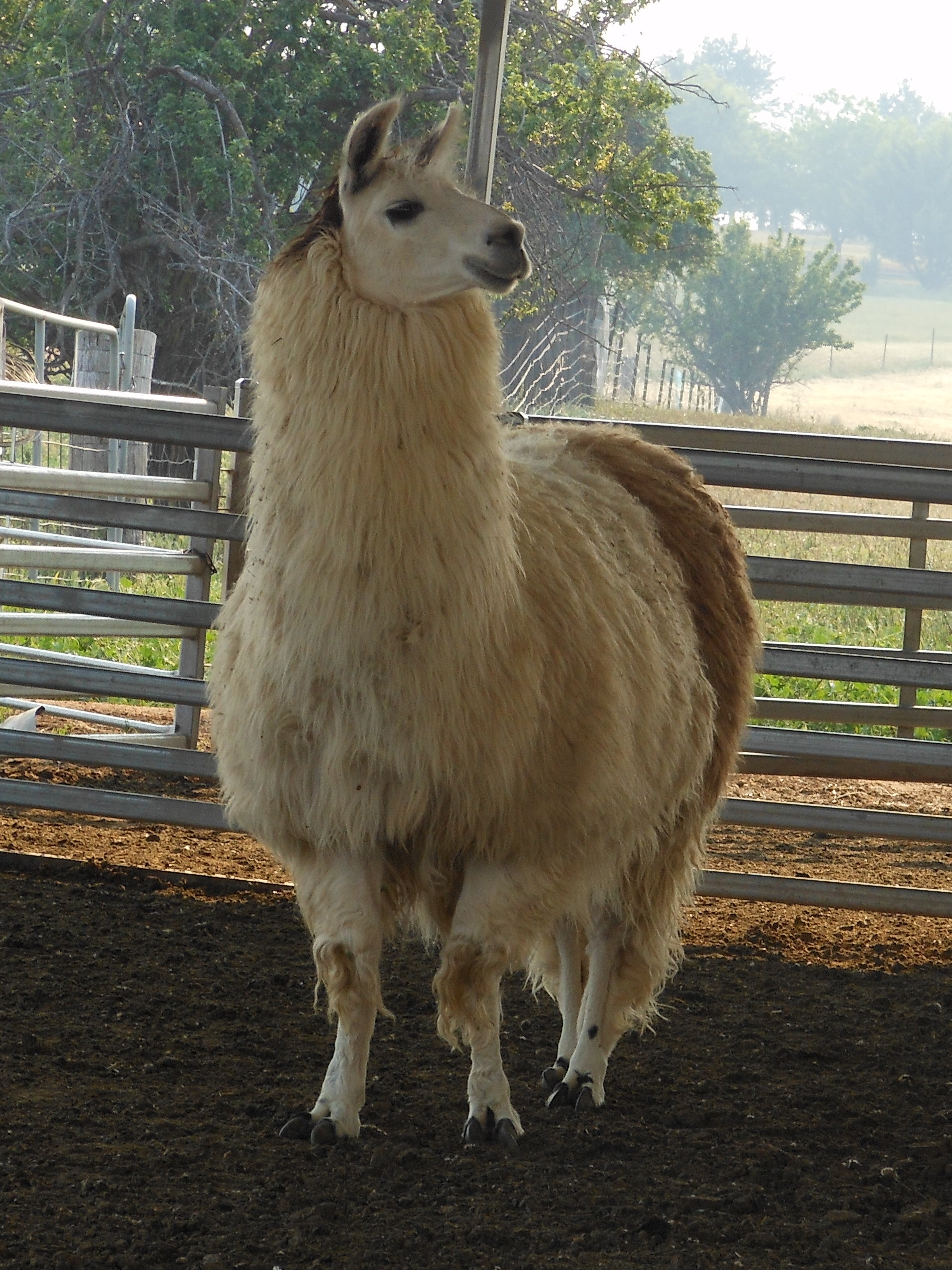 Grant the Llama Full Fleece