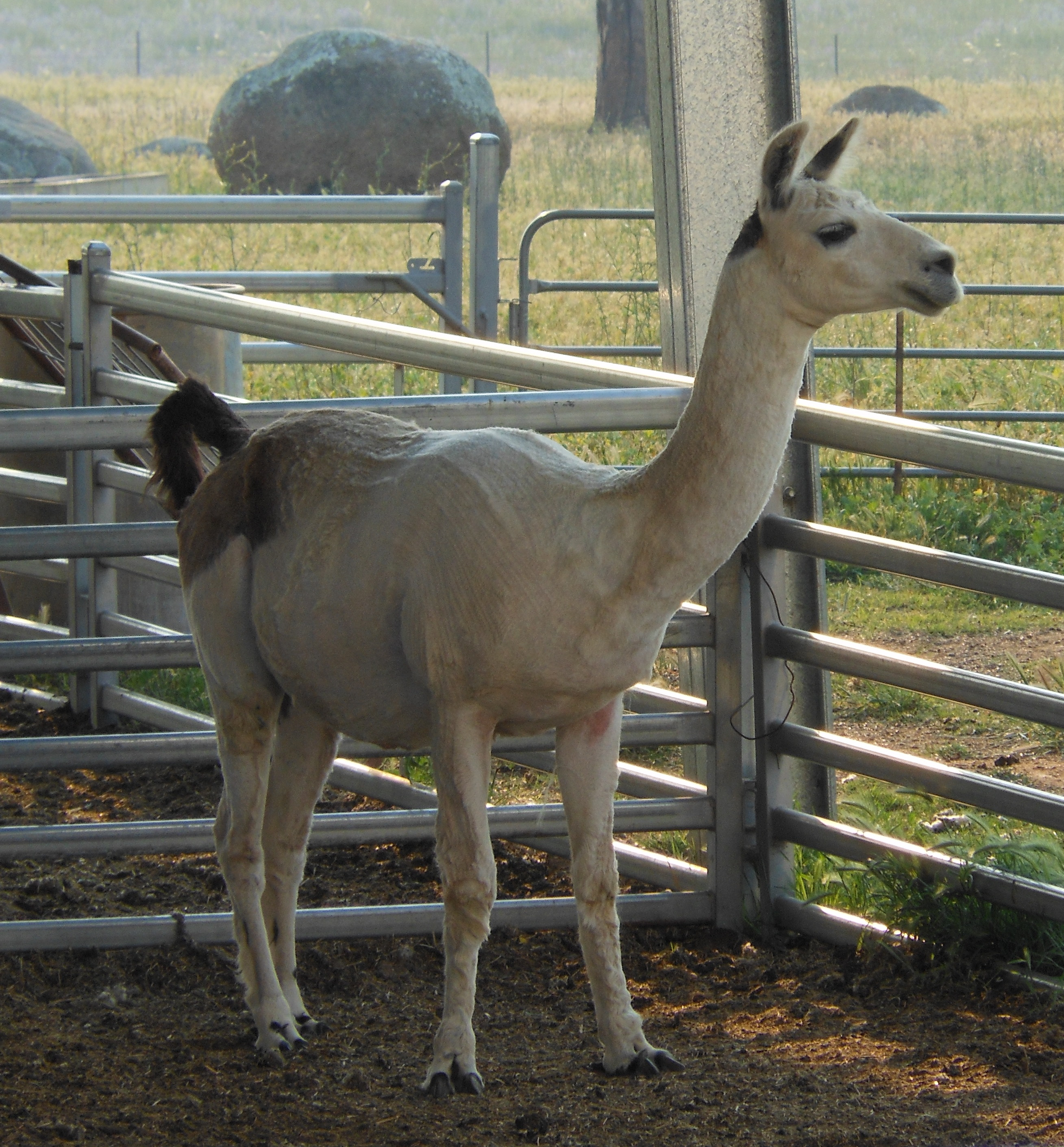 Grant the Llama After Shearing