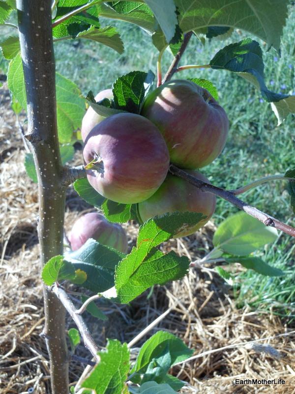 Geeveston Apples 2