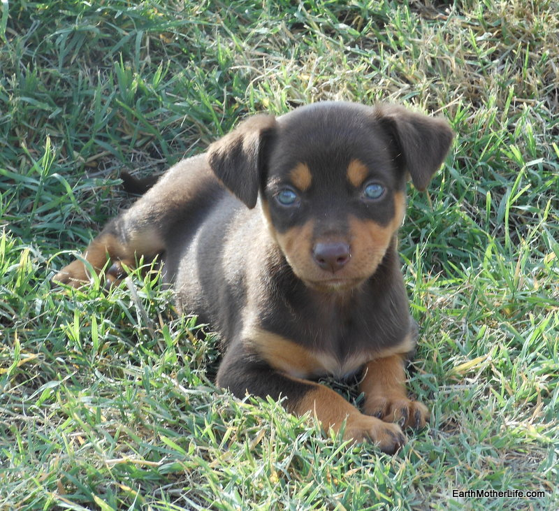 Jelly Red and Tan Kelpie Pup 4
