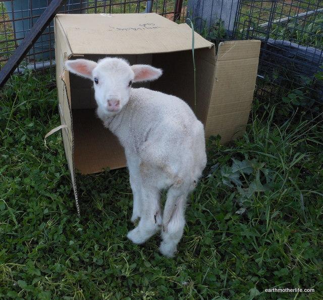 Murringo Lamb 1