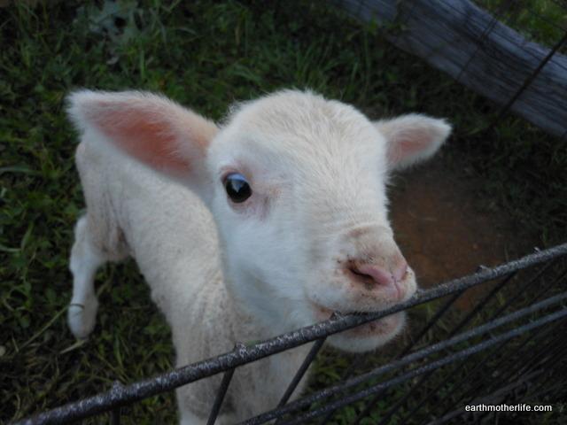 Murringo Lamb 2