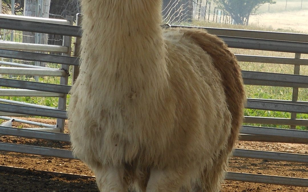 Grant the Llama – Before and After
