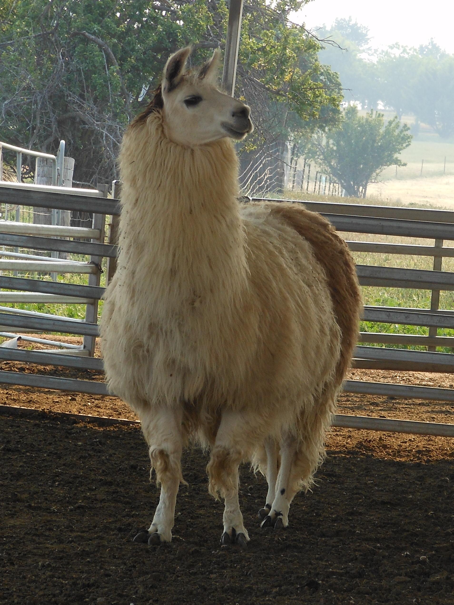 Grant the Llama Full Fleece