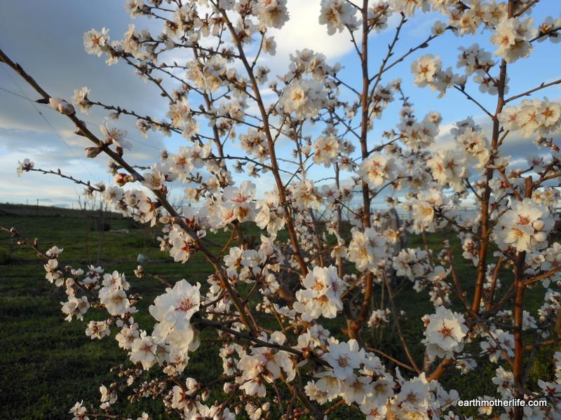 Apricot blossoms 1